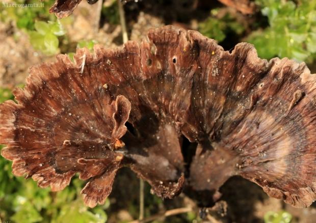 Taurinis karpininkas - Thelephora caryophyllea   Fotografijos autorius : Ramunė Vakarė   © Macrogamta.lt   Šis tinklapis priklauso bendruomenei kuri domisi makro fotografija ir fotografuoja gyvąjį makro pasaulį.