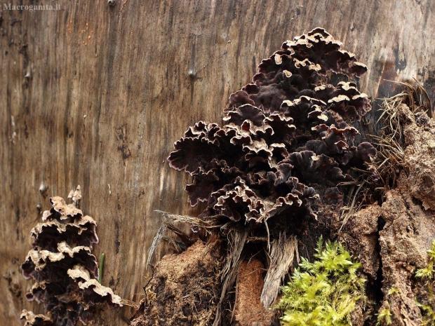 Purpurinė plutpintė - Chondrostereum purpureum | Fotografijos autorius : Vidas Brazauskas | © Macrogamta.lt | Šis tinklapis priklauso bendruomenei kuri domisi makro fotografija ir fotografuoja gyvąjį makro pasaulį.