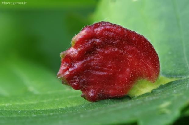 Gumbadarės erkės - Aceria macrorhyncha gumbas | Fotografijos autorius : Gintautas Steiblys | © Macrogamta.lt | Šis tinklapis priklauso bendruomenei kuri domisi makro fotografija ir fotografuoja gyvąjį makro pasaulį.