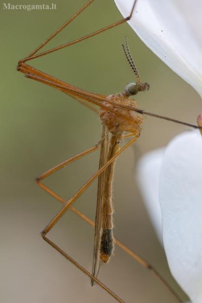 Ilgakojis uodas - Austrolimnophila ochracea ♂ | Fotografijos autorius : Žilvinas Pūtys | © Macrogamta.lt | Šis tinklapis priklauso bendruomenei kuri domisi makro fotografija ir fotografuoja gyvąjį makro pasaulį.