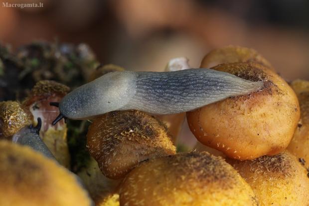 Juodagalvis dirvašliužis - Krynickillus melanocephalus   Fotografijos autorius : Žilvinas Pūtys   © Macrogamta.lt   Šis tinklapis priklauso bendruomenei kuri domisi makro fotografija ir fotografuoja gyvąjį makro pasaulį.