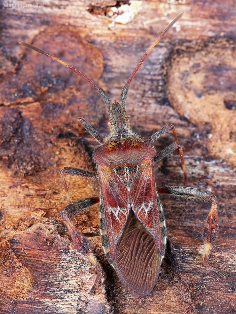 Kampuotblakė - Leptoglossus occidentalis | Fotografijos autorius : Vaida Paznekaitė | © Macrogamta.lt | Šis tinklapis priklauso bendruomenei kuri domisi makro fotografija ir fotografuoja gyvąjį makro pasaulį.