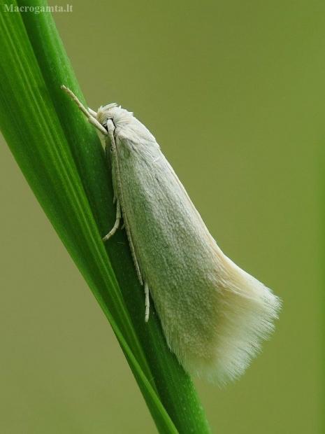 Baltoji elachista - Elachista argentella | Fotografijos autorius : Vidas Brazauskas | © Macrogamta.lt | Šis tinklapis priklauso bendruomenei kuri domisi makro fotografija ir fotografuoja gyvąjį makro pasaulį.