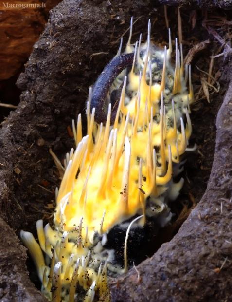 Karingoji grūdmenė - Cordyceps militaris ? | Fotografijos autorius : Romas Ferenca | © Macrogamta.lt | Šis tinklapis priklauso bendruomenei kuri domisi makro fotografija ir fotografuoja gyvąjį makro pasaulį.