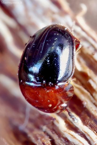 Kerpvabalis - Agathidium nigripenne | Fotografijos autorius : Romas Ferenca | © Macrogamta.lt | Šis tinklapis priklauso bendruomenei kuri domisi makro fotografija ir fotografuoja gyvąjį makro pasaulį.