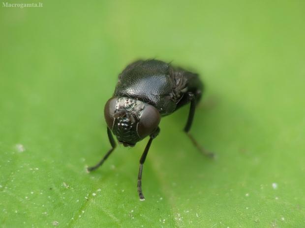 Krantinukė - Discomyza incurva | Fotografijos autorius : Vidas Brazauskas | © Macrogamta.lt | Šis tinklapis priklauso bendruomenei kuri domisi makro fotografija ir fotografuoja gyvąjį makro pasaulį.