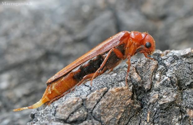 Lapuotinis grąžtvabalis - Hylecoetus dermestoides | Fotografijos autorius : Gintautas Steiblys | © Macrogamta.lt | Šis tinklapis priklauso bendruomenei kuri domisi makro fotografija ir fotografuoja gyvąjį makro pasaulį.