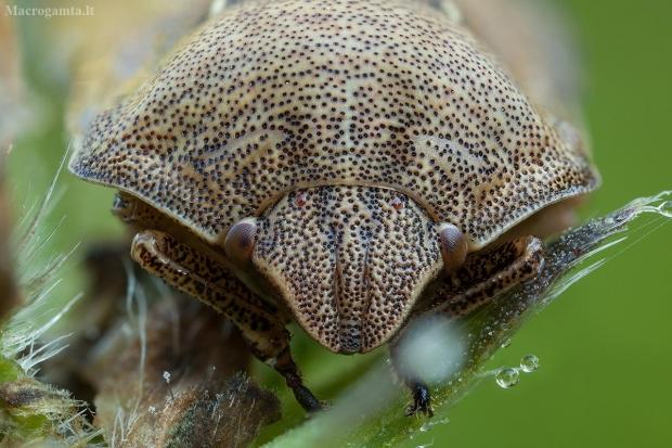 Lenktagalvė vėžliablakė – Eurygaster testudinaria   Fotografijos autorius : Žilvinas Pūtys   © Macrogamta.lt   Šis tinklapis priklauso bendruomenei kuri domisi makro fotografija ir fotografuoja gyvąjį makro pasaulį.