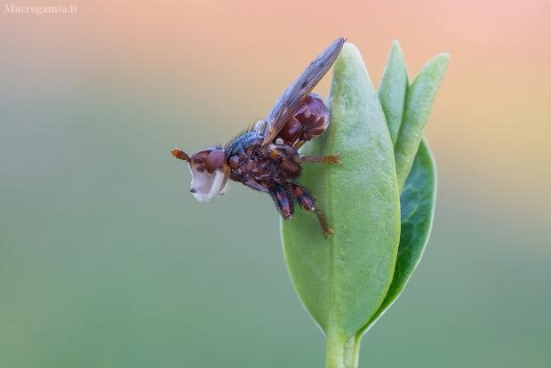 Lenktapilvė musė - Sicus ferrugineus | Fotografijos autorius : Tomas Ivašauskas | © Macrogamta.lt | Šis tinklapis priklauso bendruomenei kuri domisi makro fotografija ir fotografuoja gyvąjį makro pasaulį.