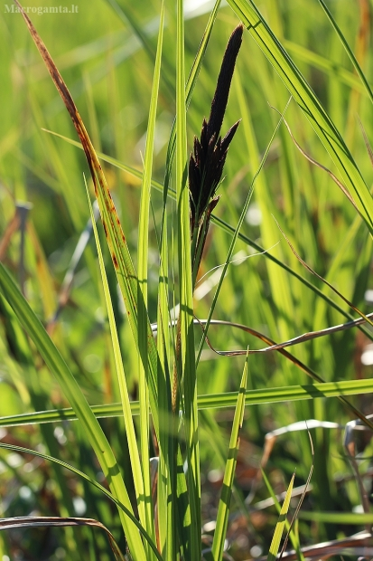 Lieknoji viksva - Carex acuta | Fotografijos autorius : Gintautas Steiblys | © Macrogamta.lt | Šis tinklapis priklauso bendruomenei kuri domisi makro fotografija ir fotografuoja gyvąjį makro pasaulį.