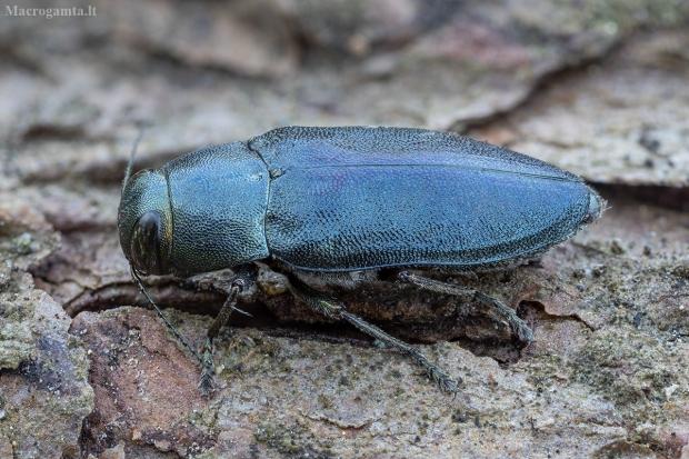 Mėlynasis blizgiavabalis - Phaenops cyanea   Fotografijos autorius : Žilvinas Pūtys   © Macrogamta.lt   Šis tinklapis priklauso bendruomenei kuri domisi makro fotografija ir fotografuoja gyvąjį makro pasaulį.