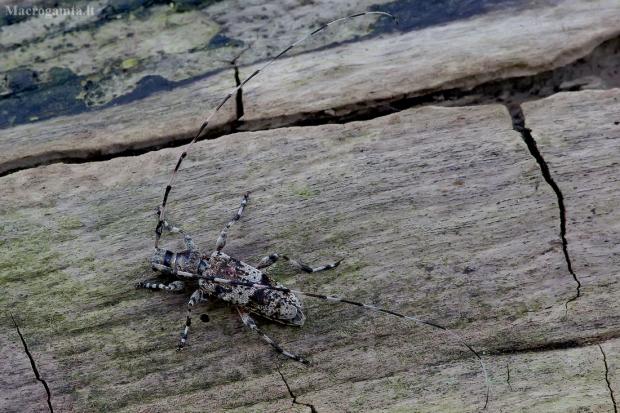 Mažasis pušiagraužis - Acanthocinus griseus   Fotografijos autorius : Romas Ferenca   © Macrogamta.lt   Šis tinklapis priklauso bendruomenei kuri domisi makro fotografija ir fotografuoja gyvąjį makro pasaulį.