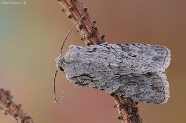 Miškinis ilgasparniukas - Lithophane ornitopus | Fotografijos autorius : Arūnas Eismantas | © Macrogamta.lt | Šis tinklapis priklauso bendruomenei kuri domisi makro fotografija ir fotografuoja gyvąjį makro pasaulį.