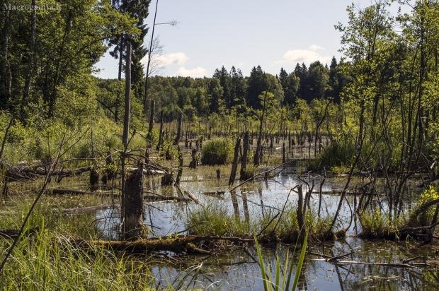 Misiškių ežeras | Fotografijos autorius : Kazimieras Martinaitis | © Macrogamta.lt | Šis tinklapis priklauso bendruomenei kuri domisi makro fotografija ir fotografuoja gyvąjį makro pasaulį.