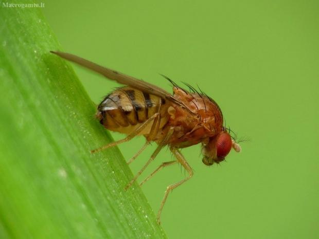 Vaismusė - Drosophila phalerata | Fotografijos autorius : Vidas Brazauskas | © Macrogamta.lt | Šis tinklapis priklauso bendruomenei kuri domisi makro fotografija ir fotografuoja gyvąjį makro pasaulį.