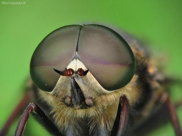 Sparva - Tabanus sp. | Fotografijos autorius : Vidas Brazauskas | © Macrogamta.lt | Šis tinklapis priklauso bendruomenei kuri domisi makro fotografija ir fotografuoja gyvąjį makro pasaulį.