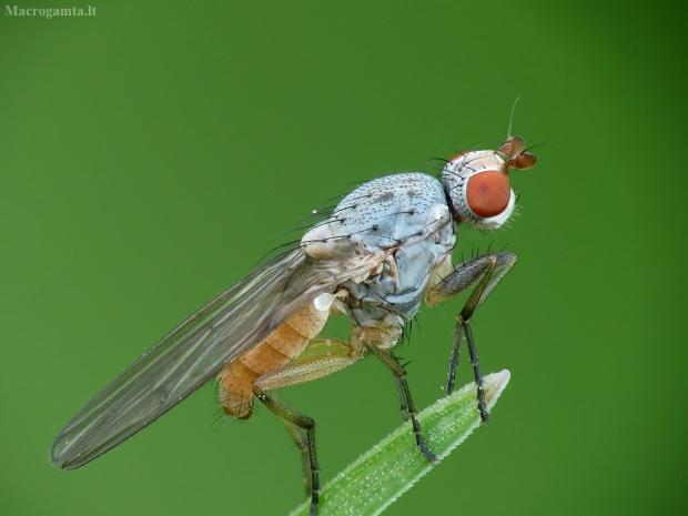 Musė - Tephrochlamys flavipes | Fotografijos autorius : Vidas Brazauskas | © Macrogamta.lt | Šis tinklapis priklauso bendruomenei kuri domisi makro fotografija ir fotografuoja gyvąjį makro pasaulį.