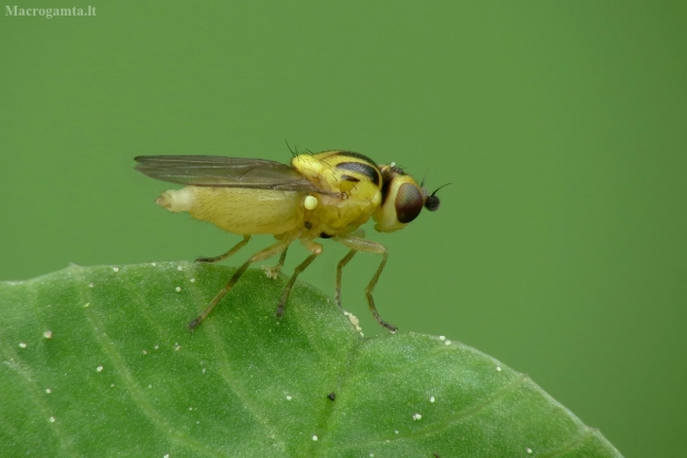 Musytė - Chloropidae sp.   Fotografijos autorius : Vidas Brazauskas   © Macrogamta.lt   Šis tinklapis priklauso bendruomenei kuri domisi makro fotografija ir fotografuoja gyvąjį makro pasaulį.