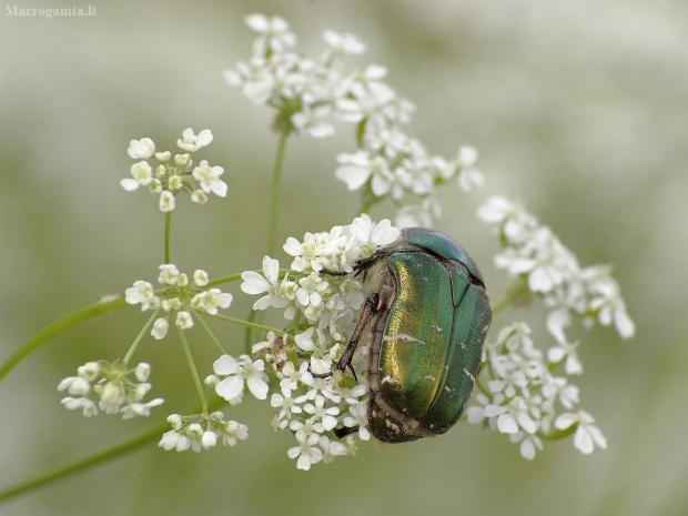 Paprastasis auksavabalis - Cetonia aurata | Fotografijos autorius : Vidas Brazauskas | © Macrogamta.lt | Šis tinklapis priklauso bendruomenei kuri domisi makro fotografija ir fotografuoja gyvąjį makro pasaulį.