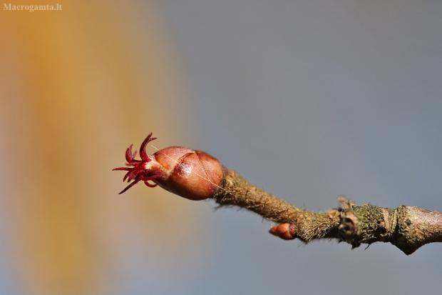 Paprastasis lazdynas - Corylus avellana   Fotografijos autorius : Agnė Našlėnienė   © Macrogamta.lt   Šis tinklapis priklauso bendruomenei kuri domisi makro fotografija ir fotografuoja gyvąjį makro pasaulį.