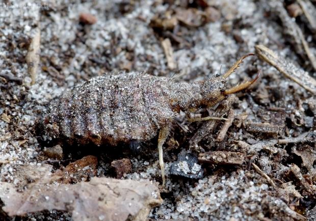 Paprastasis skruzdžių liūtas - Myrmeleon formicarius, lerva | Fotografijos autorius : Romas Ferenca | © Macrogamta.lt | Šis tinklapis priklauso bendruomenei kuri domisi makro fotografija ir fotografuoja gyvąjį makro pasaulį.