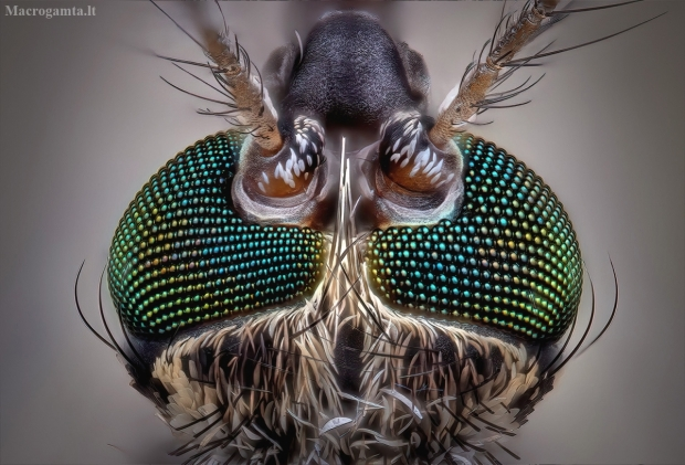 Paprastasis uodas - Culex pipiens | Fotografijos autorius : Eugenijus Kavaliauskas | © Macrogamta.lt | Šis tinklapis priklauso bendruomenei kuri domisi makro fotografija ir fotografuoja gyvąjį makro pasaulį.