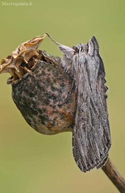 Pieninė kukulija - Cuculia lucifuga   Fotografijos autorius : Gintautas Steiblys   © Macrogamta.lt   Šis tinklapis priklauso bendruomenei kuri domisi makro fotografija ir fotografuoja gyvąjį makro pasaulį.