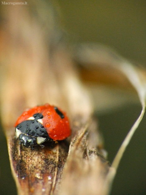 Penkiataškė boružė - Coccinella quinquepunctata  | Fotografijos autorius : Žygimantas Obelevičius | © Macrogamta.lt | Šis tinklapis priklauso bendruomenei kuri domisi makro fotografija ir fotografuoja gyvąjį makro pasaulį.