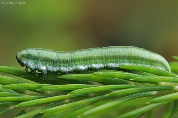 Žaliasis pušinis pjūklelis - Gilpinia virens, lerva | Fotografijos autorius : Gintautas Steiblys | © Macrogamta.lt | Šis tinklapis priklauso bendruomenei kuri domisi makro fotografija ir fotografuoja gyvąjį makro pasaulį.