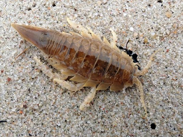 Blyškusis jūrvėžis - Saduria entomon | Fotografijos autorius : Vitalii Alekseev | © Macrogamta.lt | Šis tinklapis priklauso bendruomenei kuri domisi makro fotografija ir fotografuoja gyvąjį makro pasaulį.