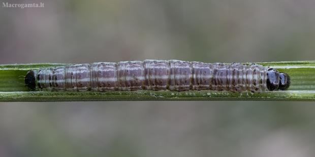 Salpinis pelėdgalvis - Xylomoia strix, vikšras | Fotografijos autorius : Žilvinas Pūtys | © Macrogamta.lt | Šis tinklapis priklauso bendruomenei kuri domisi makro fotografija ir fotografuoja gyvąjį makro pasaulį.