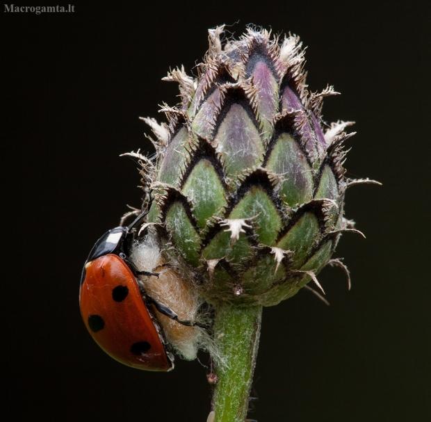 Septyntaškė boružė - Coccinella septempunctata | Fotografijos autorius : Žilvinas Pūtys | © Macrogamta.lt | Šis tinklapis priklauso bendruomenei kuri domisi makro fotografija ir fotografuoja gyvąjį makro pasaulį.