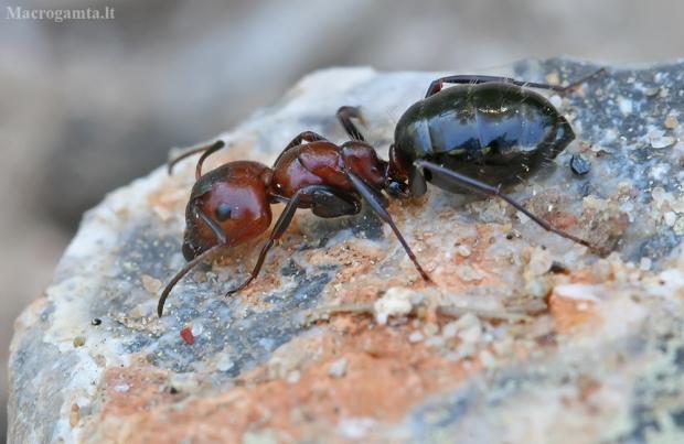 Skruzdėlė - Camponotus ruber   Fotografijos autorius : Gintautas Steiblys   © Macrogamta.lt   Šis tinklapis priklauso bendruomenei kuri domisi makro fotografija ir fotografuoja gyvąjį makro pasaulį.
