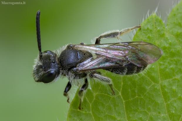 Smėliabitė - Andrena sp. ♂ | Fotografijos autorius : Žilvinas Pūtys | © Macrogamta.lt | Šis tinklapis priklauso bendruomenei kuri domisi makro fotografija ir fotografuoja gyvąjį makro pasaulį.