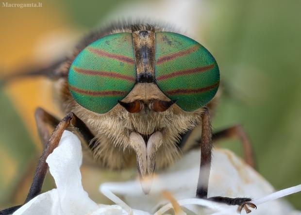 Sparva - Hybomitra ciureai ♀ | Fotografijos autorius : Žilvinas Pūtys | © Macrogamta.lt | Šis tinklapis priklauso bendruomenei kuri domisi makro fotografija ir fotografuoja gyvąjį makro pasaulį.