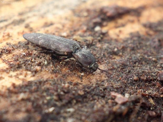Spragšis - Danosoma conspersum | Fotografijos autorius : Vidas Brazauskas | © Macrogamta.lt | Šis tinklapis priklauso bendruomenei kuri domisi makro fotografija ir fotografuoja gyvąjį makro pasaulį.