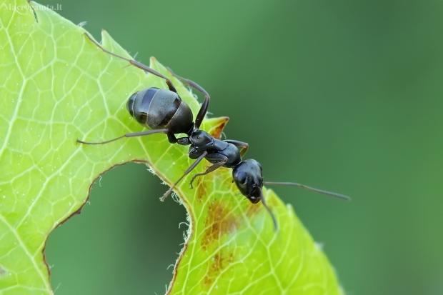 Tamsiarudė miško skruzdėlė - Formica fusca   Fotografijos autorius : Gintautas Steiblys   © Macrogamta.lt   Šis tinklapis priklauso bendruomenei kuri domisi makro fotografija ir fotografuoja gyvąjį makro pasaulį.