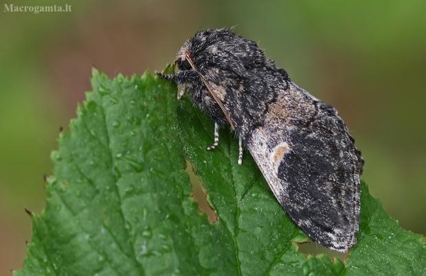 Tamsusis kuoduotis - Notodonta tritophus   Fotografijos autorius : Gintautas Steiblys   © Macrogamta.lt   Šis tinklapis priklauso bendruomenei kuri domisi makro fotografija ir fotografuoja gyvąjį makro pasaulį.