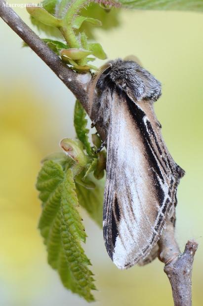 Tuopinis kuodis - Pheosia tremula   Fotografijos autorius : Arūnas Eismantas   © Macrogamta.lt   Šis tinklapis priklauso bendruomenei kuri domisi makro fotografija ir fotografuoja gyvąjį makro pasaulį.