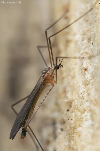 Uodas - Austrolimnophila ochracea   Fotografijos autorius : Gintautas Steiblys   © Macrogamta.lt   Šis tinklapis priklauso bendruomenei kuri domisi makro fotografija ir fotografuoja gyvąjį makro pasaulį.