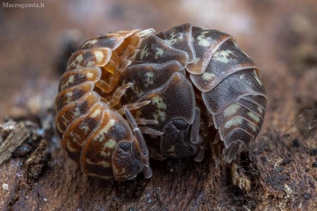 Vėdarėlis - Armadillidium pulchellum | Fotografijos autorius : Žilvinas Pūtys | © Macrogamta.lt | Šis tinklapis priklauso bendruomenei kuri domisi makro fotografija ir fotografuoja gyvąjį makro pasaulį.