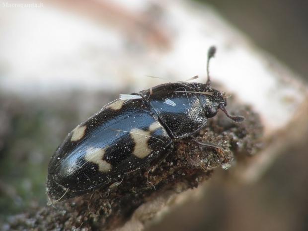 Žvilgvabalis - Glischrochilus quadriguttatus   Fotografijos autorius : Vidas Brazauskas   © Macrogamta.lt   Šis tinklapis priklauso bendruomenei kuri domisi makro fotografija ir fotografuoja gyvąjį makro pasaulį.