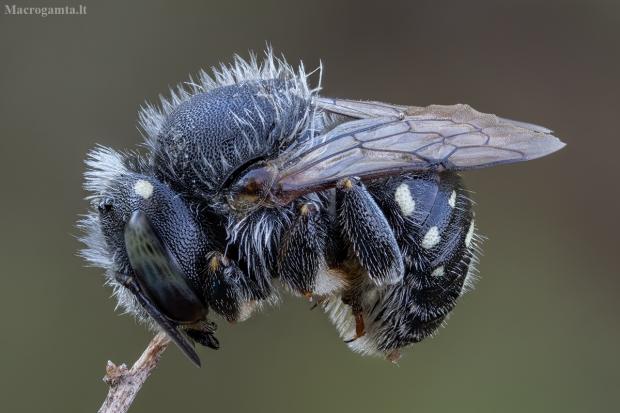 Vilnabitė - Anthidium punctatum ♀   Fotografijos autorius : Žilvinas Pūtys   © Macrogamta.lt   Šis tinklapis priklauso bendruomenei kuri domisi makro fotografija ir fotografuoja gyvąjį makro pasaulį.