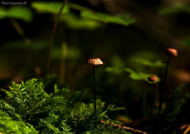 Ašutinis mažūnis - Gymnopus androsaceus   Fotografijos autorius : Irenėjas Urbonavičius   © Macrogamta.lt   Šis tinklapis priklauso bendruomenei kuri domisi makro fotografija ir fotografuoja gyvąjį makro pasaulį.