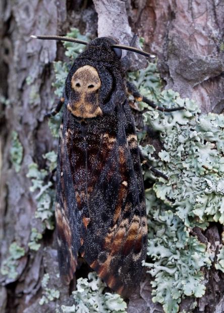 Kaukolėtasis sfinksas - Acherontia atropos | Fotografijos autorius : Zita Gasiūnaitė | © Macrogamta.lt | Šis tinklapis priklauso bendruomenei kuri domisi makro fotografija ir fotografuoja gyvąjį makro pasaulį.