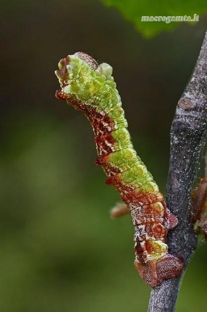 Didysis žaliasprindis - Geometra papilionaria, vikšras  | Fotografijos autorius : Gintautas Steiblys | © Macrogamta.lt | Šis tinklapis priklauso bendruomenei kuri domisi makro fotografija ir fotografuoja gyvąjį makro pasaulį.