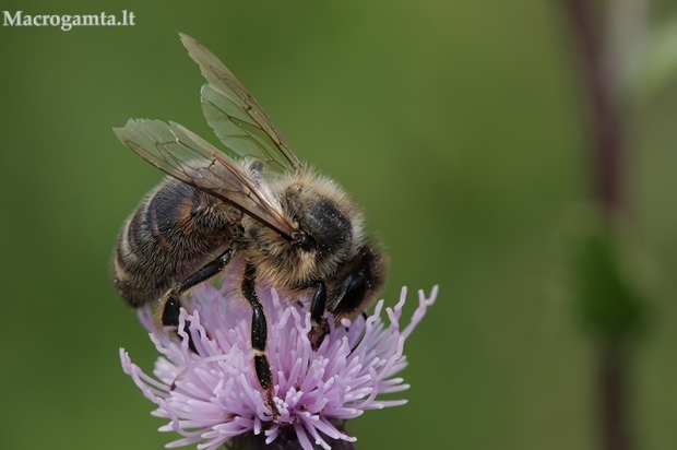 Naminė bitė - Apis mellifera | Fotografijos autorius : Gintautas Steiblys | © Macrogamta.lt | Šis tinklapis priklauso bendruomenei kuri domisi makro fotografija ir fotografuoja gyvąjį makro pasaulį.