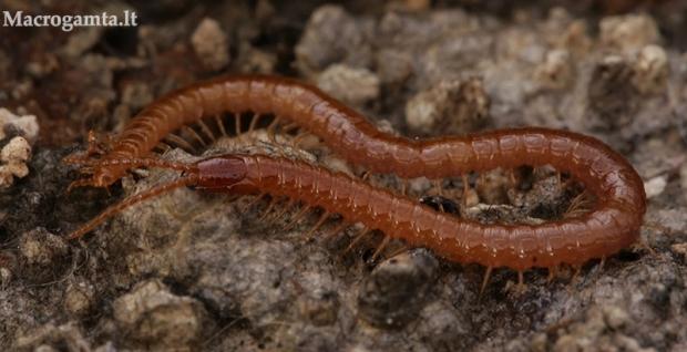 Šimtakojis - Pachymerium cf. ferrugineum | Fotografijos autorius : Gintautas Steiblys | © Macrogamta.lt | Šis tinklapis priklauso bendruomenei kuri domisi makro fotografija ir fotografuoja gyvąjį makro pasaulį.
