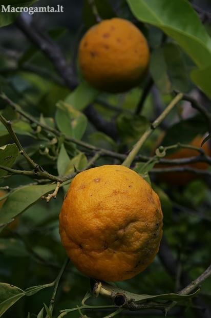 Apelsininis citrinmedis - Citrus sinensis   Fotografijos autorius : Gintautas Steiblys   © Macrogamta.lt   Šis tinklapis priklauso bendruomenei kuri domisi makro fotografija ir fotografuoja gyvąjį makro pasaulį.