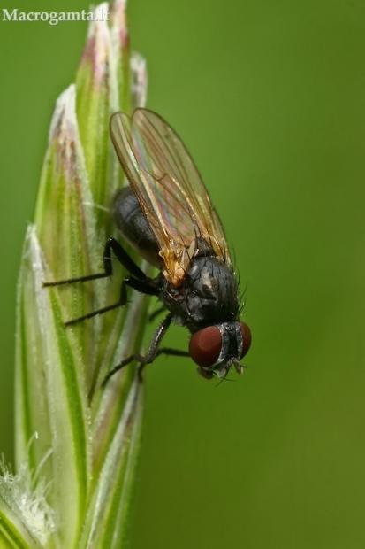 Išvietininkė - Fanniidae    Fotografijos autorius : Gintautas Steiblys   © Macrogamta.lt   Šis tinklapis priklauso bendruomenei kuri domisi makro fotografija ir fotografuoja gyvąjį makro pasaulį.